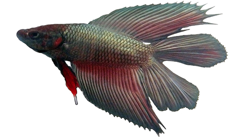Betta splendens (betta fish)